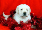 Yellow labrador puppy with New Year (Christmas) toys — Stock Photo