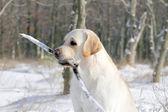 Labrador amarillo en retrato de invierno — Foto de Stock