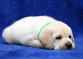 Yellow labrador puppy sleeping — Stock Photo