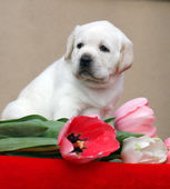 Yellow labrador puppy with tulips — Fotografia Stock