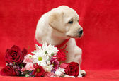 Yellow labrador puppy with flowers — Stock Photo