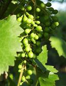 Maduración de la uva — Foto de Stock