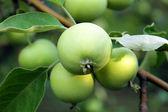 Green apple in summer — Stock Photo