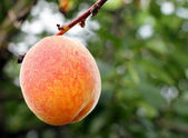 Fresh and ripe peach — Stock Photo