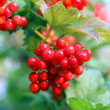 Stock Photo: Viburnum bunch