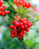 Viburnum bunch — Foto Stock