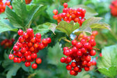 Viburnum bunch — Stock Photo