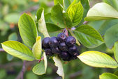Black Chokeberries (Aronia) — Stock Photo