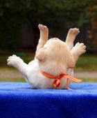 Happy yellow labrador puppy — Stock Photo