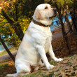 Foto Stock: Young yellow labrador in autumn