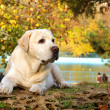 Foto Stock: Yellow labrador in autumn