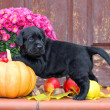 Black labrador puppy in autumn — Stock fotografie #34098125