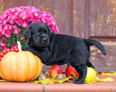 Black labrador puppy in autumn — Stock Photo