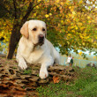 Yellow labrador in autumn — Stock Photo #34394507