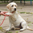 Stockfoto: Yellow labrador puppy