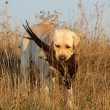 Yellow labrador with pheasant — Stock Photo #34395549