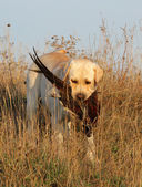 Yellow labrador with pheasant — Stock Photo