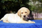 Mutlu sarı labrador yavrusu — Stok fotoğraf