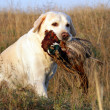 Portrait of yellow labrador with pheasant — Stock Photo #34423021