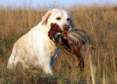 Portrait of yellow labrador with pheasant — Stock Photo