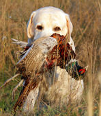 Portrait of yellow labrador with pheasant — Stock Photo