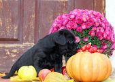 Zwarte labrador puppy in de herfst — Stockfoto