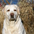 Yellow labrador in autumn portrait close up — Stock Photo