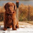 Stock Photo: Happy chocolate labrador puppy