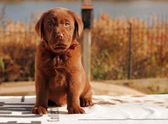 Happy chocolate labrador puppy — Stock Photo