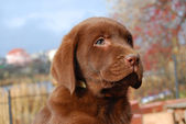 Happy chocolate labrador puppy portrait — Stock Photo