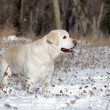 Stock Photo: Yellow labrador in winter