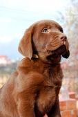 Szczęśliwy czekoladowy labrador szczenię portret — Stockfoto