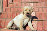 Happy yellow labrador puppy portrait — Stok fotoğraf