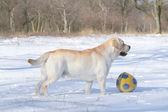 Labrador jaune en hiver avec un ballon — Photo