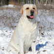 Stock Photo: Yellow labrador in winter portrait