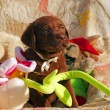 Stock Photo: Happy chocolate labrador puppy with toys