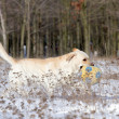 Stock Photo: Yellow labrador in winter with ball