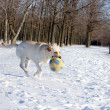 Stock Photo: Yellow labrador in winter running with ball