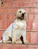 Retrato de cachorro labrador amarillo — Foto de Stock
