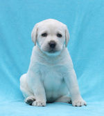 Happy yellow labrador puppy portrait close up — Stock Photo