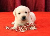 快乐与珠红黄色拉布拉多小狗肖像 — 图库照片