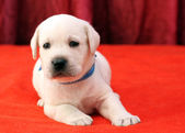 Happy yellow labrador puppy portrait close up on red — Stock fotografie