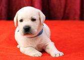 Happy yellow labrador puppy portrait close up on red — Zdjęcie stockowe