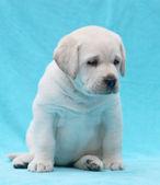 Happy yellow labrador puppy portrait close up — Stock fotografie