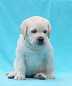 Yellow labrador puppy portrait close up — Stockfoto