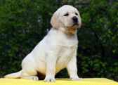 Labrador puppy on yellow background — Stock Photo