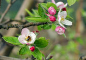 Blooming apple-tree  in spring — Stock Photo