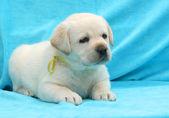 Yellow labrador puppy portrait — Stock Photo