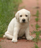 Yellow labrador puppy portrait close up — Stock Photo