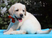 Little yellow labrador puppy portrait on blue — Stock Photo